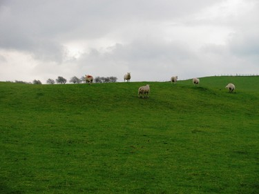 Pretty much everywhere you go in Wales, you'll see sheep. At certain times of the year, there are three sheep for every human resident. PATRICIA JOB/TORONTO SUN