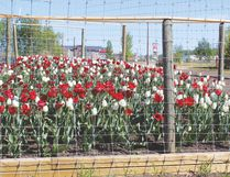 These red and white tulips were planted last fall in one of three new flower beds on the south side of town.