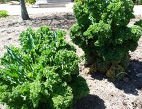 Kale growing in John DeGroot's yard. The gardening expert says most vegetables don't do well in the shade and need sunlight to thrive and mature… although there are some exceptions, but they are few and far between. (John DeGroot photo)