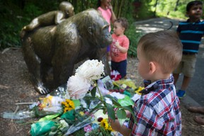 A boy brings flowers to put beside a statue of a gorilla outside the shuttered Gorilla World exhibit at the Cincinnati Zoo & Botanical Garden, Monday, May 30, 2016, in Cincinnati. A gorilla named Harambe was killed by a special zoo response team on Saturday after a three-year-old boy slipped into an exhibit and it was concluded his life was in danger. (AP Photo/John Minchillo)