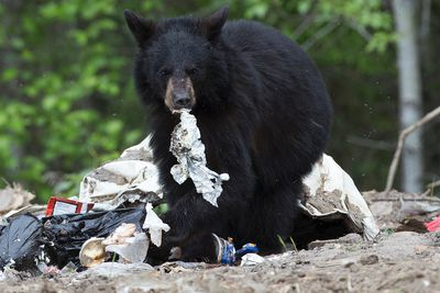 A black bear forages for food on the Fort McMurray First Nation Reserve Alta. on Wednesday June 1, 2016. DAVID BLOOM/Postmedia Network