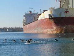 Geese float by the freighter Mapleglen, shown in this file photo, while it was docked at the grain elevators in Sarnia Harbour. A regional maritime strategy released this week by Great Lakes premiers and governors calls for a doubling of the $30 billion the shipping industry contributes to the U.S. and Canadian economies. (File photo/THE OBSERVER)