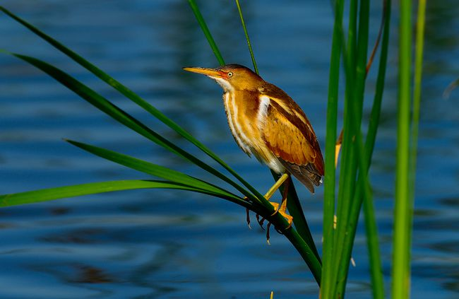Getty images A Least Bittern, seen here in the Viera wetlands near Florida, was recently spotted in the area by Ken and Pat Hooles.