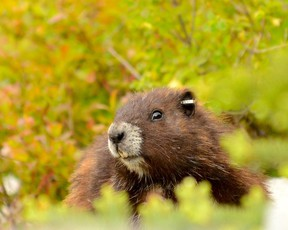 A marmot is shown in a recent handout photo on Vancouver Island. Experts monitoring the critically endangered Vancouver Island marmot say three dozen of the animals have died over the winter in the central island region of Strathcona. (THE CANADIAN PRESS/HO-Mike Lester)