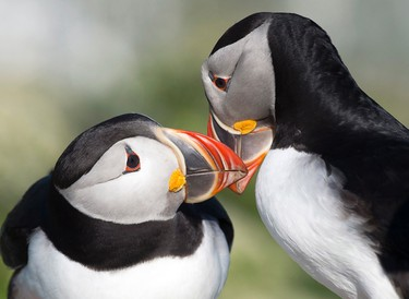 Atlantic puffins are seen on Machias Seal Island on Friday, June 24, 2016. The island is located in the lower Bay of Fundy, approximately 15 kilometres west of Grand Manan Island. The tiny island is home to the Atlantic puffin as well as Razorbill auk and Common and Arctic terns. Sovereignty of the island is disputed with both Canada and the United States claiming ownership. THE CANADIAN PRESS/Andrew Vaughan