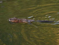 Beavers have been busy in a New Sudbury neighbourhood, to the dismay of some residents who feel their dam building has created breeding ponds for mosquitoes. (Postmedia Network)