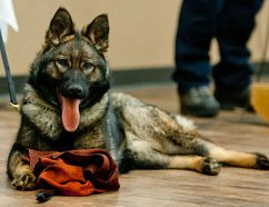 Helen, an RCMP police dog in training, looks towards the camera during a presentation by the Llloyminster RCMP at Rotary on Monday, March 22, 2016. James Wood/Meridian Booster/Postmedia Network