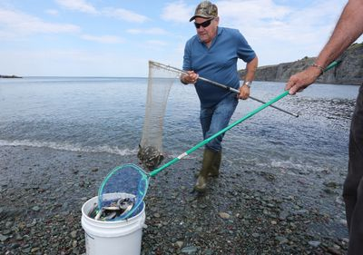 Patrick Denine walks up from the surf with his net full of capelin at Middle Cove Beach on Friday, July 22, 2016. Each summer when the small fish come in and spawn on the beaches of Newfoundland, crowds flock to the Cove to watch or scoop up the fish. This year the mayor had to enlist the aid of the police to minimize traffic to the Cove. There is limited parking in the area and visitors were parking along both sides of the narrow cliftside roads. THE CANADIAN PRESS/Paul Daly