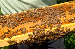 Ontario beekeepers are reporting a sharp decline in bee deaths over the winter.  Mike Hensen/The London Free Press/Postmedia Network