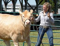 Amanda Craven, from Eberts, Ont., displays her beef cow at the Dresden Exhibition 4-H achievement cattle show on Saturday, July 23, 2016 in Dresden, Ont. (DAVID GOUGH/Postmedia Network)