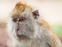 A file photo of a macaque
