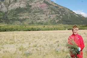 Park employees joined over 30 volunteers on Saturday to pull up pounds of dangerous knapweed. The invasive species can produce over 140,000 seeds a year and releases dangerous chemicals into the soil. | Andrew Glen McCutcheon photos/Pincher Creek Echo