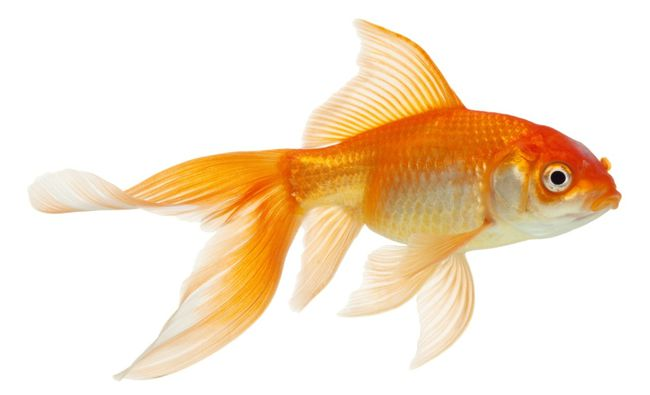 Gold Fishes Photos Cute goldfish h...