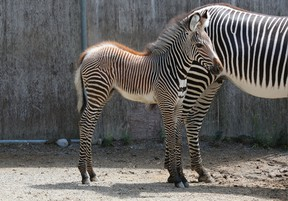 Tori, a six-year-old female Grevy's zebra, shows off her filly Rey to the public at the Toronto Zoo on Thursday Aug. 18, 2016. (Handout)