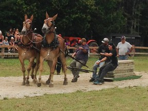 Mighty mules Sam and Roy go their own way at Providence Bay Fair horse pull on the weekend. (Carolyn McGill/Special to the Toronto Sun)
