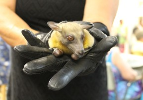 Topo the African Fruit Bat takes a look at audience members during Green Drinks Sarnia's Aug. 10 presentation about bats.  CARL HNATYSHYN/SARNIA THIS WEEK