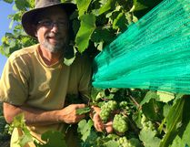Marc Alton of Alton Farm Estates Winery says 2016 has been a great year for grape production on his Lambton County farm near Forest. John Miner/The London Free Press