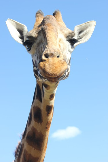 You never know who you might meet at Kenya's Giraffe Manor -- a unique10-room boutique hotel in a suburb of Nairobi that is home to a herd of endangered Rothschild giraffes. JEN COLENUTT/SPECIAL TO THE TORONTO SUN