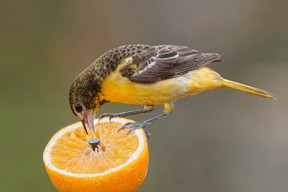 Brian Lasenby/Getty images Female Baltimore Oriole (Icterus galbula) feeding on an orange, taken in Ontario, Canada.