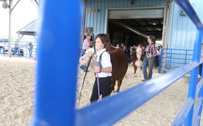 Isaac Krentz shows cattle in the heifer class at the Picton Fair