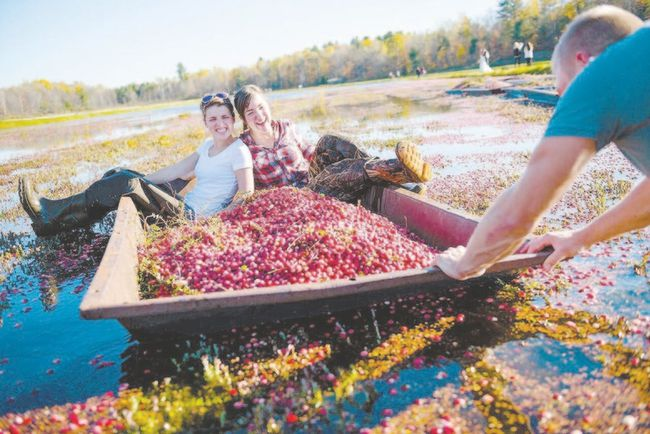 Having some fun during the harvest at Johnston's Cranberry Marsh. (photo Special to Postmedia News)