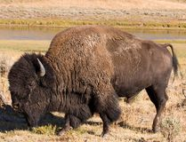 A number of events are being held around Banff, Alta., this weekend for the public to learn about the history of buffalo and their return to Banff National Park, in conjunction with Alberta Culture Days. (Jeff Burrell)