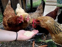 Urban chickens. (Postmedia Network file photo)
