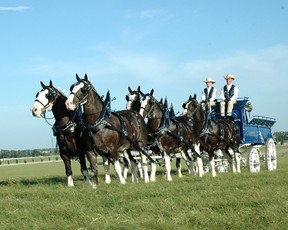 The Express Clydesdales are scheduled to appear at the Brigden Fair from Oct. 7 to 10, helping raise money for Harmony for Youth. Handout/Sarnia Observer/Postmedia Network