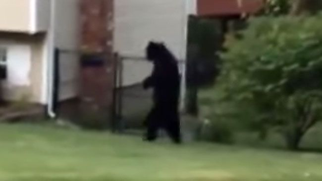 Pedals the bipedal bear. (YouTube screenshot)