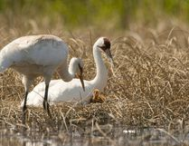 A family of whooping cranes are spotted at Wood Buffalo National Park in this 2008 file photo. J. McKinnon/Parks Canada