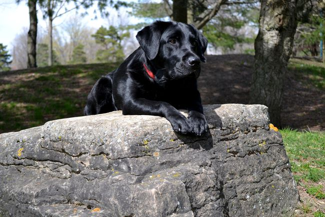 A photo of Kaia, a black Labrador trained in Brockville by Vickie Reynolds, graces the cover of the Canadian Guide Dogs for the Blind 2017 calendar. (HANDOUT/POSTMEDIA NETWORK)