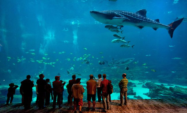 Visitors to Atlanta's excellent Georgia Aquarium gather in the viewing theatre of the Ocean Voyager exhibit to watch the whale sharks. If you can, drop by to observe the gentle giants at feeding time. GENE PHILLIPS/Courtesy of ACVB & AtlantaPhotos.com