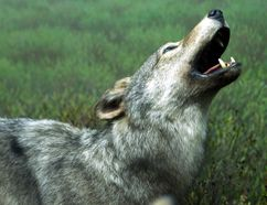 The province has decided to ban wolf and coyote kills in a buffer zone outside Killarney Provincial Park that's bigger than the park itself. Postmedia file photo