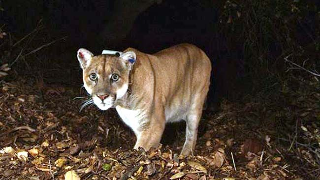 This undated photo provided by the National Park Service shows a mountain lion, known as P-45, that is believed to be responsible for the recent killings of livestock near Malibu, Calif. Ten alpacas were killed Saturday, Nov. 26, 2016, at a ranch and one alpaca and a goat were killed at another ranch on Sunday. California Fish and Wildlife has issued a rancher a 10-day permit to kill a lion known as P-45, but officials of the Santa Monica Mountains National Recreation Area contend that killing a cougar preying on livestock near Malibu will not solve the problem. (National Park Service via AP)