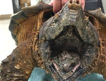 This Tuesday, Nov. 30, 2016 photo provided by the Houston SPCA's Wildlife Center of Texas shows a wounded 53 pound alligator snapping turtle. The turtle is recovering at a Houston wildlife rehabilitation center after fire-rescue crews saved it from a rural drainage pipe. The Houston Society for the Prevention of Cruelty to Animals says the threatened-species specimen was found wedged Tuesday in the pipe in a new residential development near Hockley, about 35 miles northwest of Houston. (Houston SPCA's Wildlife Center of Texas via AP)