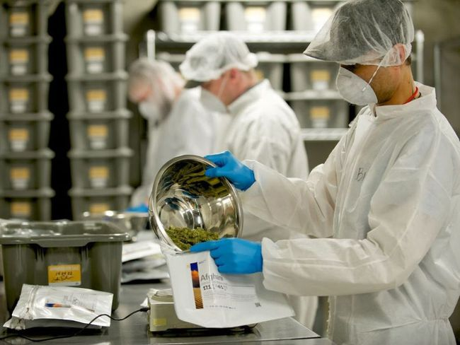 Workers pack buds at TIlray