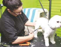 Patricia Jordan, groomer at Porthos Pet Supplies, trims the hair on Sira, a one and a half-year-old poodle cross.