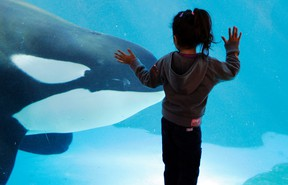 In this Nov. 30, 2006, file photo, a young girl watches through the glass as a killer whale passes by while swimming in a display tank at SeaWorld in San Diego. SeaWorld San Diego is ending its controversial and long-running killer whale show. The show that featured orcas cavorting with trainers and leaping high out of a pool ends, Sunday, Jan. 8, 2017. This summer, the park will unveil a new attraction in the pool. Orca Encounter is being billed as an educational experience that will show how killer whales eat, communicate and navigate. The park has 11 orcas. (AP Photo/Chris Park, File)
