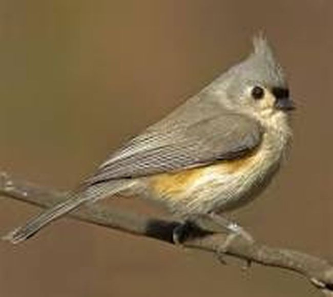 Two Tufted Titmice – Carolinian song birds rarely found in this area – were spotted and counted in Southampton and Paisley, Jan 4, during the annual Christmas Bird Count in Saugeen Shores.