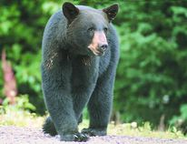 Huron County animal control officer, Bob Trick said last year he recorded the most bears sighting ever to date. He believes there are are bears hibernating in Huron County. (Postmedia file photo)