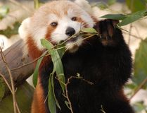 Sunny the red panda is missing from the Virginia Zoo. (Virginia Zoo)