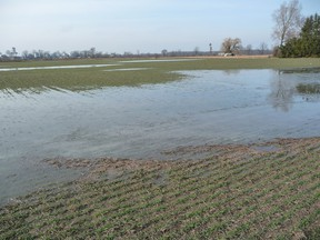 A field of winter wheat near Brigden, earlier this week. Too much moisture can be a problem for Lambton County's cash crop farmers. It can also be a problem for backyard gardens in Sarnia, writes gardening specialist John DeGroot. (SUBMITTED PHOTO)