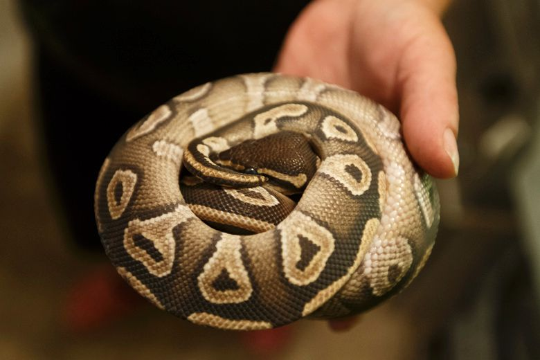 Ball python on lam at University of Guelph found