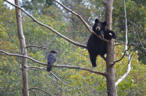 Data from the County's animal control officer, says that Huron County is a prime destination for black bears compared to other parts of southwestern Ontario. (Postmedia file photo)