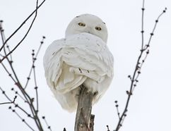 A snowy owl looks down intently from its perch atop a tree near Monkton. It will likely be one of the more sought-after specimens in the annual Great Backyard Bird Count, which begins today. (MIKE BEITZ/The Beacon Herald)