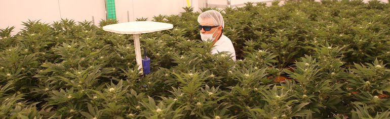 Derek Smith takes readings from marijuana plants in the bloom room at ABcann Medicinals Inc. in Napanee on Friday. The company is in the process of going public to raise investment to fund its expansion. (Elliot Ferguson/The Whig-Standard)