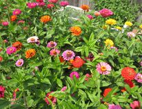 If Mark Cullen could only recommend one flowering annual plant to you, it would be zinnias. Supplied photo