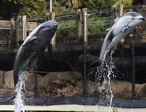 Rescued cetaceans Helen, a Pacific white-sided dolphin and Chester, a false killer whale in action at the Vancouver Aquarium in Vancouver, BC., January 24, 2017. After the death of two beluga whales at the facility the park board are considering banning cetaceans. (NICK PROCAYLO/Postmedia Network)