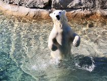 Juno, a 15-month-old polar bear from the Toronto Zoo will soon be calling Winnipeg her home.