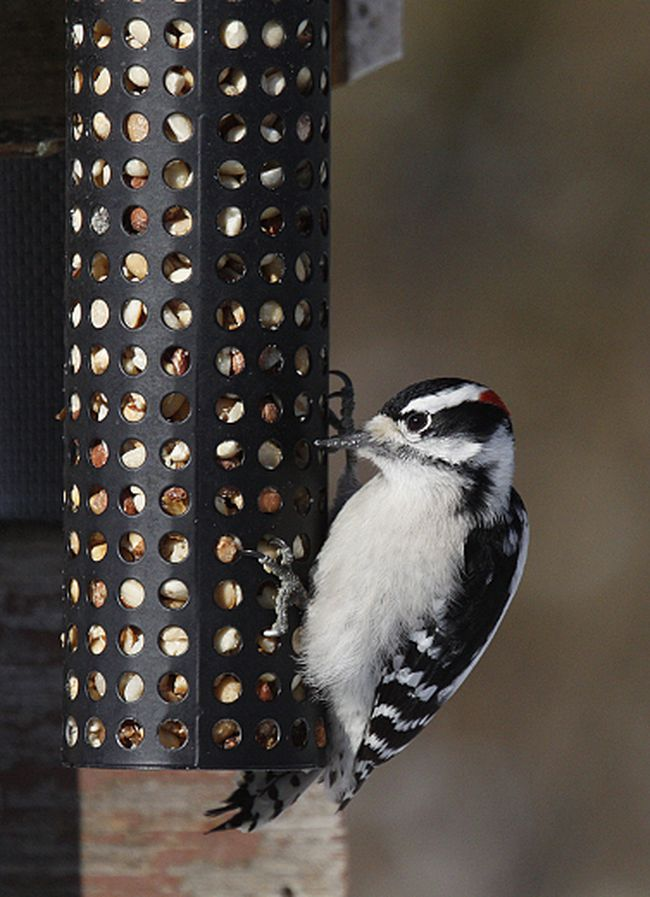 The strong feet of a downey woodpecker enable it to cling to the sides of bird feeders and trees as it finds a meal.